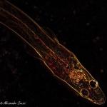 Glass eel (Anguilla anguilla)_1