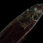 Glass eel (Anguilla anguilla)_8