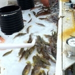 field_work_8_DetectingtaggedfishinFishemancatch(Tonje K. Sõrdalen)