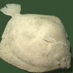 Turbot (Scophthalmus maximus)