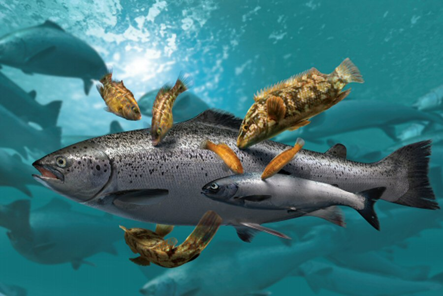 Cleanerfish graphic